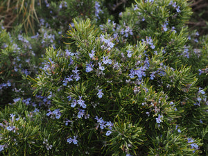 Positive Holistic Effects of Rosemary Essential Oil