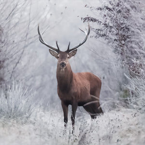 Deer - Animals Canvas Wall Art Sub Collection