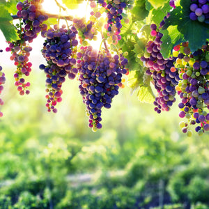 Vineyard - Wine Canvas Wall Art Sub Collection