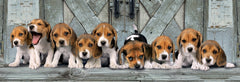 Beagles 1000 Piece Panorama Jigsaw Puzzle  - Galaxy Puzzles