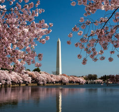 Cherry Blossom and Washington Monument Puzzle (2 sizes: 40, 250 pieces)