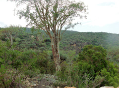 Frankincense Forest