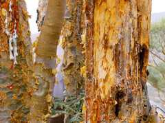Tapping of Boswellia Carteri Trees
