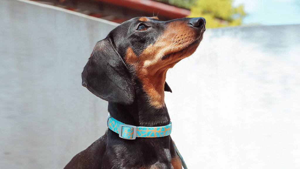 GLOWING GIRAFFE | Dog Collar