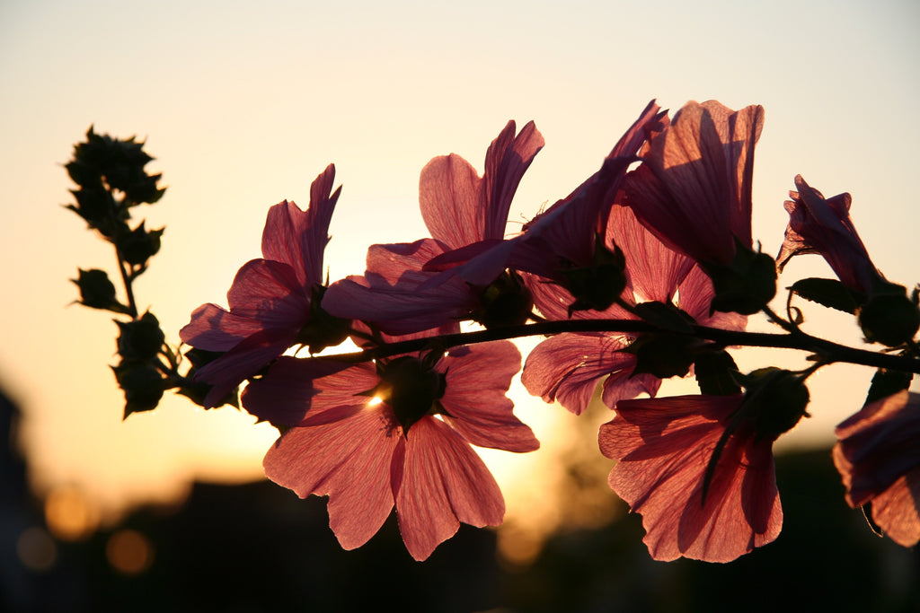 Pink flowers with sunlight behind
