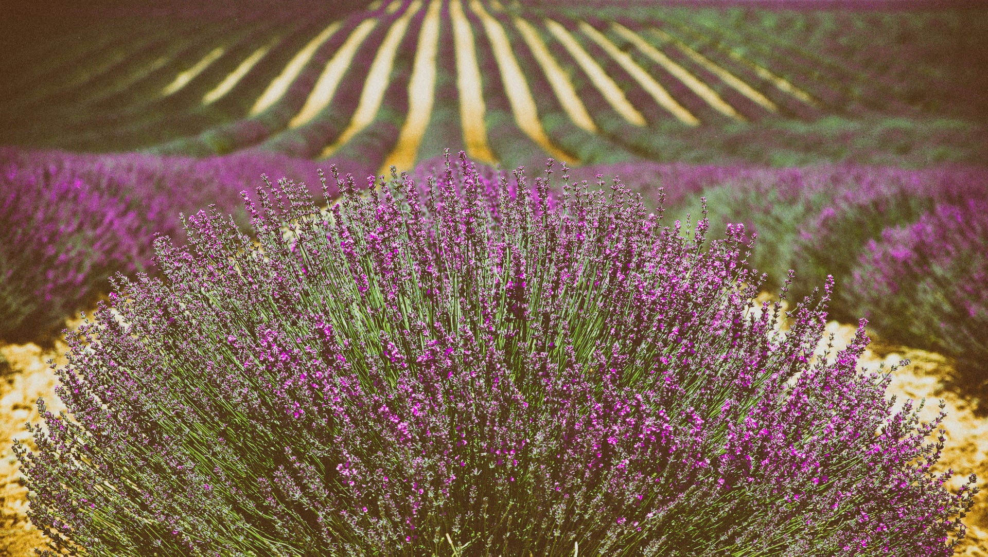 Rows of lavender in a lavender field