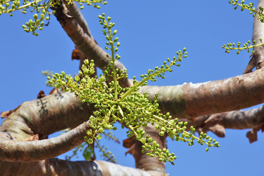 Frankincense Boswellia Serrata Tree