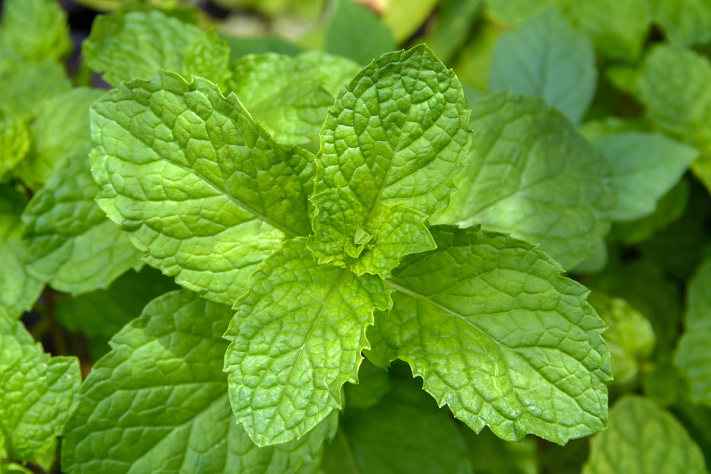 Peppermint Plant Leaf in nature bright green