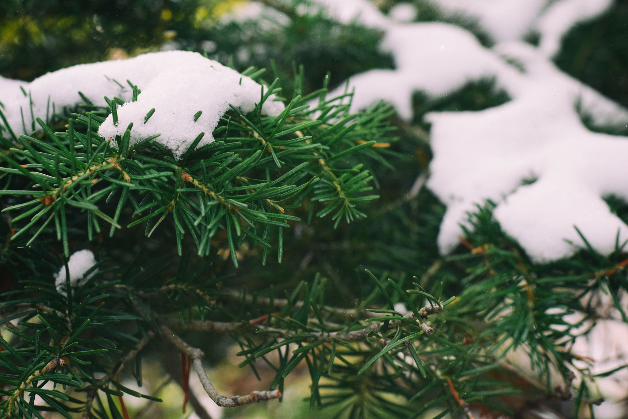 Pine Needles with snow