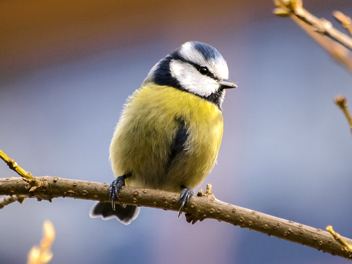 Bird of the Month - Blue Tit