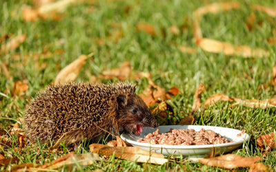 How Do I Attract Hedgehogs into my Garden?