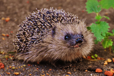 10 Facts About Hedgehogs & How To Help Them