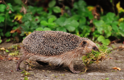 What Can I Do to Help Hedgehogs?
