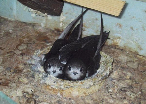 Common Swift Nest © www.swift-conservation.org