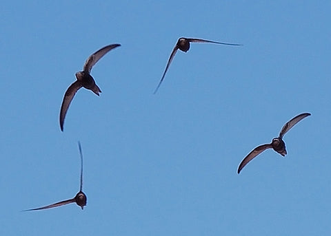 Common Swift In Flight © Keta Detail of Apus_apus_flock_flying.jpg, CC BY-SA 3.0, https://commons.wikimedia.org/w/index.php?curid=2817682