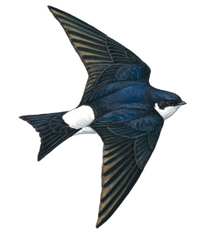 House Martin © Mike Langman (rspb-images.com)