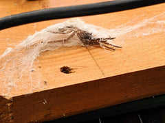 nest box spider