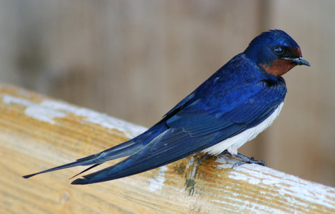 Barn Swallow - © I, Malene [CC BY-SA 3.0 (http://creativecommons.org/licenses/by-sa/3.0/)]