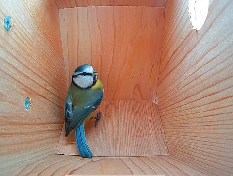 blue tit in bird box