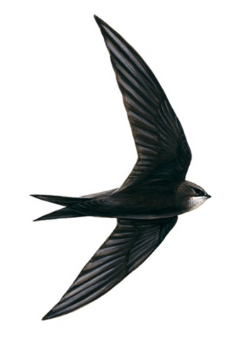 Common Swift © Mike Langman (rspb-images.com)