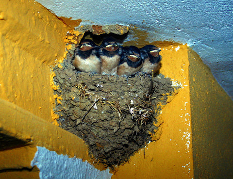 Barn Swallow Nest © Mario Modesto Mata [CC BY-SA 3.0 (https://creativecommons.org/licenses/by-sa/3.0)]