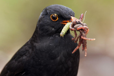 Blackbird with worms and caterpillar