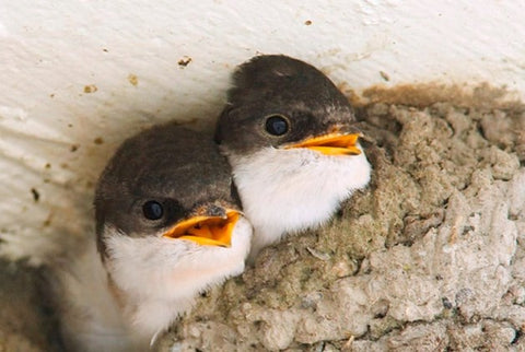 House Martin Chicks © www.limburger.nl