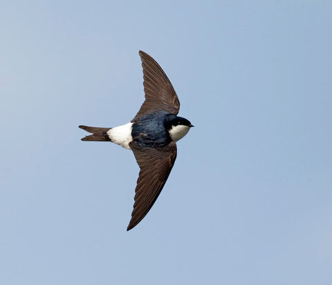 House Martin In Flight © http://www.record-lrc.co.uk/Images/Uploads/SpeciesSpotlight_holder/May%20-%20house%20martin.jpg