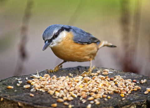 blue tit bird feeding on grain