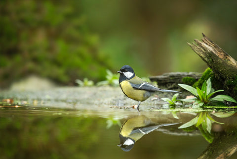 blue tit resting by water