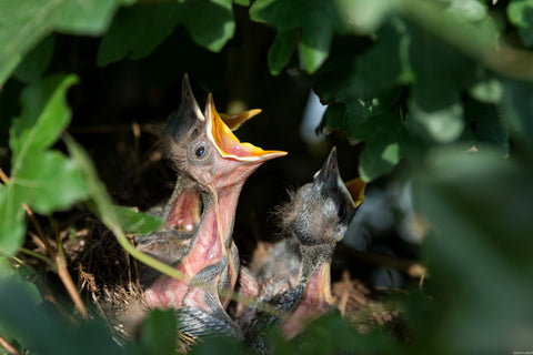 hungry baby birds peaking from nest
