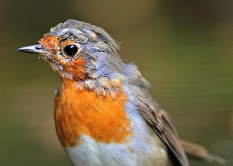 Moulting Robin