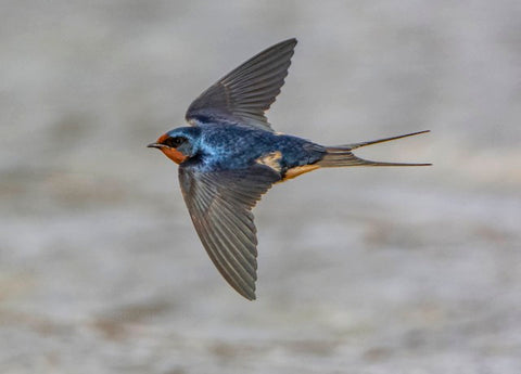 Barn Swallow In Flight © www.birdsna.org