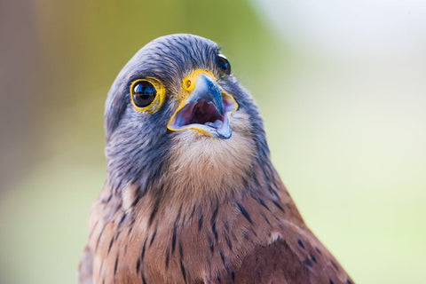 happy kestrel