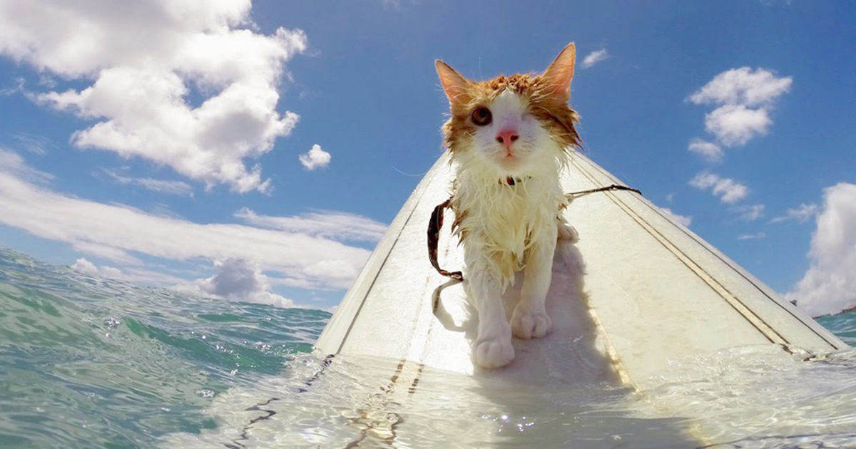 Watch This Dazzling One-Eyed Feline Whose favorite hobby is Swimming And Surfing In Hawaii