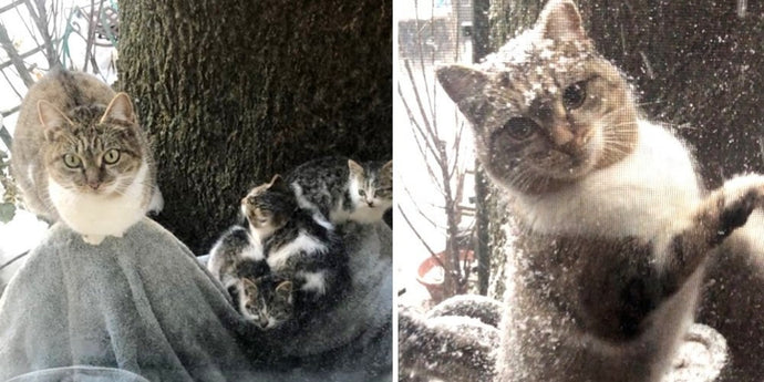 A Feline Mother Leaves Her Baby Kittens in the Care of a Couple and Comes Back for Them in Extreme Weather Conditions