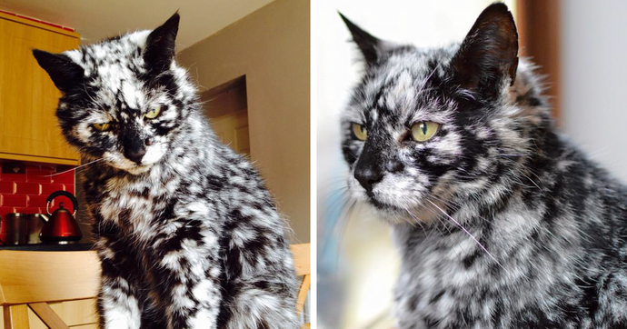 A Black Feline Transforms Into A Marble Marvel, In all probability Because of An Uncommon Skin Condition