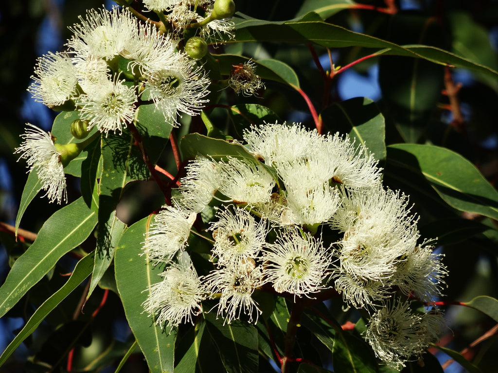 Eucalyptus Essential Oil: Health Benefits and Complimentary Oils