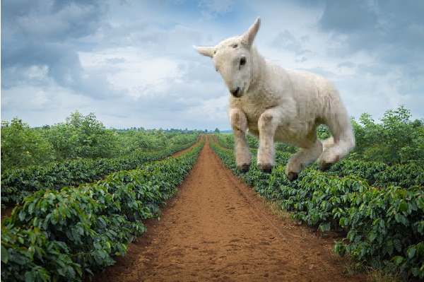 Coffee: the origin story or goats galore