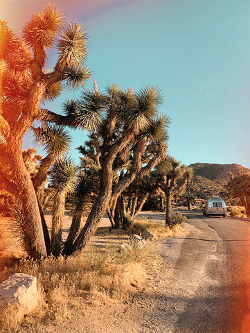 Joshua Trees. Capture the moment. Photo. Camera. Digital Camera.