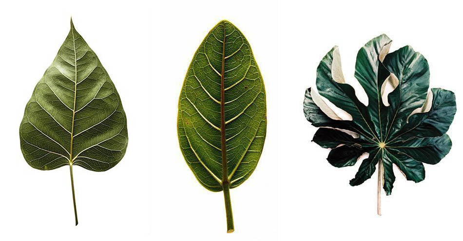 Clinton Friedman CLASSICAL BOTANICALS LEAVES 12 ART PRINT, Bloom 9, Botanical Leaves 7