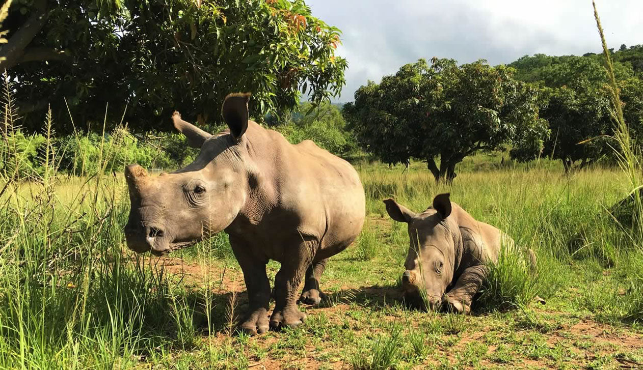 Picture of rhinos in the wild. The Cape Island brand supports the conservation of endangered wildlife.. Cape Island candles, soap products and home fragrances are available at Sarza home goods and furniture store in Rye New York