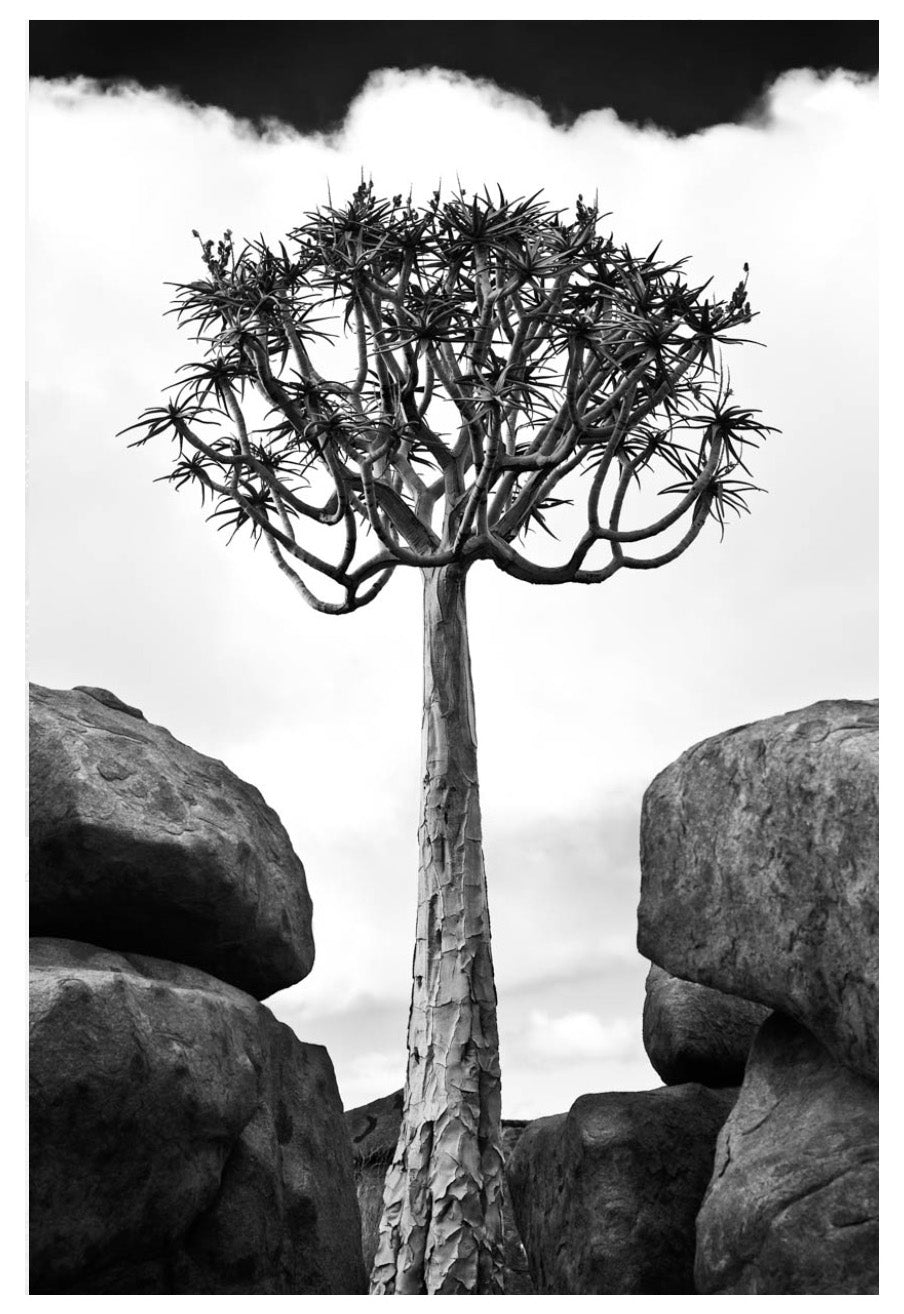 David Ballam wall art featuring a tree and rocks in the Namib desert. Available at Sarza home goods and furniture store Rye New York