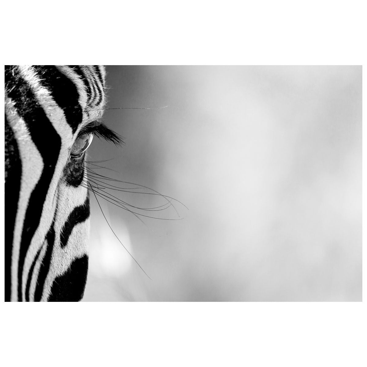 LASHES by Jackie Wild Photography at SARZA. art prints, be that one, canvas prints, framed canvas, Jackie Wild Photography, Lashes, paper prints, photography, wall art, wildlife, zebras