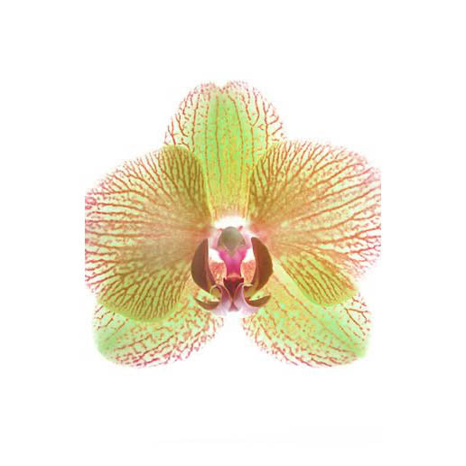ORCHID STUDIES 11 ART PRINT