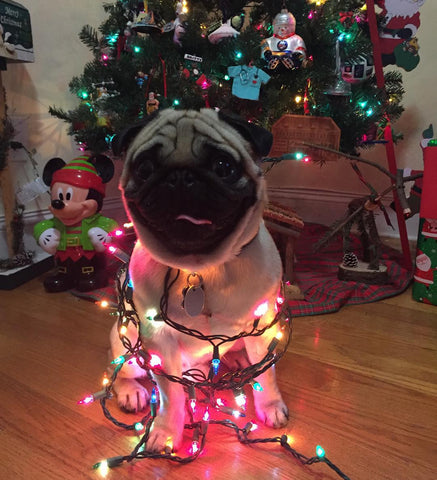 14 Reasons Why Pugs Love Xmas – Dress Your Doggy