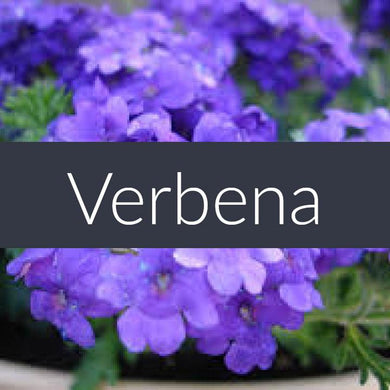 Finesse Verbena Essential Oil 10ml