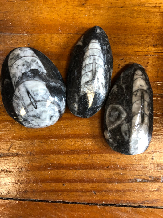 Orthoceras Fossil Polished Pieces