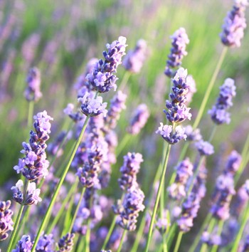 lavender_canstockphoto6061127_small_1.jpg