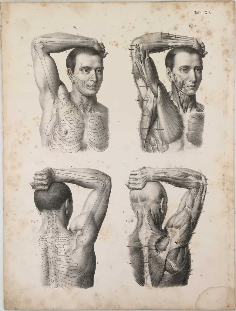 Anatomy Engraving: Male Arm and Shoulder